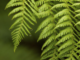 Close Up of Fern Fronds