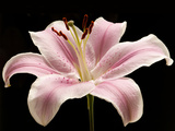 Large Pink Lily Flower with Black Background