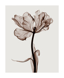 Parrot Tulips I Giclée par Steven N. Meyers