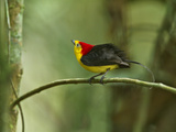 The Wire-Tailed Manakin  on His Display Perch  Courts a Female
