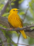 A Male Yellow Warbler  Dendrica Petechia  Perched on a Tree Branch