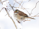 A White-Throated Sparrow  Zonotrichia Albicollis  Eating Rose Hips