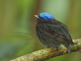 The Blue-Crowned Manakin Does Not Produce Any Wing Sounds