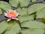 Floating Water Lily Flower and Lily Pads  Nymphaea Species
