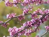 Flowering Branches of Eastern Redbud  Ceris Canadensis  in Spring