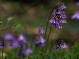 Alpine Snowbell  Sodanella Alpina  in Bloom