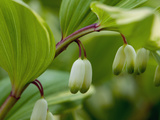 Close Up of Flower Buds of a Solomon's Seal  Polygonatum Commutatum