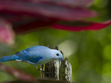A Blue-Gray Tanager Pauses for a Photo in a Botanical Garden