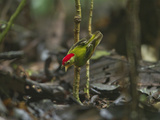 The Striped Manakin Makes a Simple Buzzing Sound with its Wings