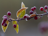 Morning Frost on a Bing Cherry Branch