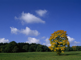 A Sycamore Tree  in Autumn Colors in a Meadow under a Blue Sky