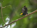 A Male Golden-Headed Manakin Moves its Wings Silently