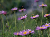 Alpine Asters  Aster Alpinus  in Bloom