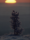 Frost on a Small Tree at Sunrise