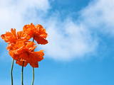 Orange Flowers Against a Blue Sky with Fluffy Clouds