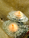 Christmas Tree Worms  Spirobranchus Giganteus  Living in Coral