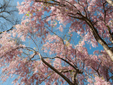Canopy View of Weeping Cherry Trees  Prunus Subhirtella Var Pendula