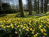 Daffodils in Bloom around Trees in a Public Garden
