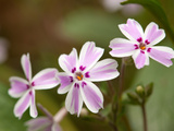 Close Up of Flowering Candy Stripe Creeping Phlox  Phlox Subulata