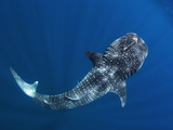 A Remora on the Head of a Whale Shark
