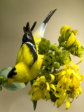 Male American Goldfinch  Spinus Tristis  in Breeding Plumage on a Flower