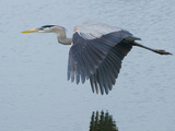 A Great Blue Heron  Ardea Herodias  Flying over a Pond in a Rookery