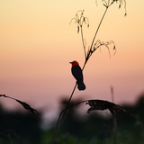 A Scarlet-Headed Blackbird  Amblyramphus Holosericeus  at Sunset