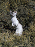 An Ermine  Mustela Erminea  a Short Tailed Weasel