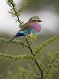 Portrait of a Lilac-Breasted Roller  Coracias Caudata