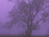 A Silhouetted Tree in Morning Mist