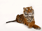 A Critically Endangered Sumatran Tiger  Panthera Tigris Sumatrae