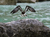 A Brown Booby Lands on the Western Coast of Socotra Island