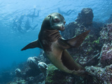 A Galapagos Sea Lion Pauses as Tourists Snorkel on the Surface