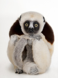 A Coquerel&#39;s Sifaka  Propithecus Coquereli  at the Houston Zoo