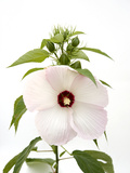 A Pink Tinged Hibiscus Flower  Malvoideae Hibisceae