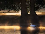 Mute Swans  Cygnus Olor  Swim in the Golden Morning Mist