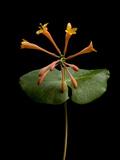 A Honeysuckle Plant  Lonicera Caprifolium