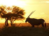 Silhouetted Gemsbok  Oryx Gazella  and Tree at Sunrise