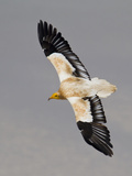 An Egyptian Vulture in Flight Above Detwah Lagoon