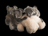 Federally Threatened Koala Joeys Snuggle with a Stuffed Animal