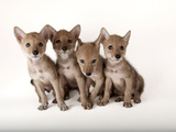 Coyote Puppies  Canis Latrans  at Nebraska Wildlife Rehab