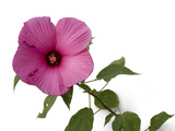 A Pink Hibiscus Flower  Malvoideae Hibisceae