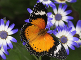 A Leopard Lacewing Butterfly  Cethosia Cyane  Pollinating Daisies