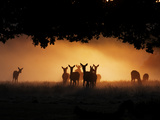 A Group of Red Deer  Cervus Elaphus  Silhouetted in Morning Glow