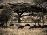 Herds of Animals Graze in the Serengeti Plains