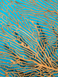 A Feather Star Feeding on a Gorgonian Coral