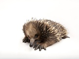A Short-Beaked Echidna  Tachyglossus Aculeatus