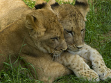 African Lion Cubs  Panthera Leo  Socializing in their Enclosure