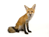 A Red Fox  Vulpes Vulpes