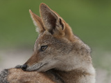 Portrait of a Black Backed Jackal  Canis Mesomelas